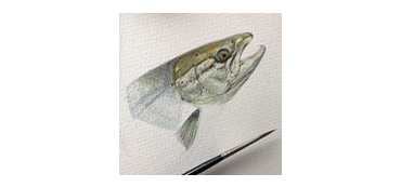 A trout drawn by artist Sarah Ellis